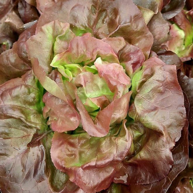 Maraicher local Guérande Légumes fruits salade laitue rouge